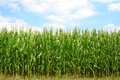 Corn green field Royalty Free Stock Photos