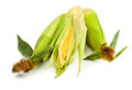 Corn group Stock Image