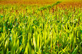 Corn Growing Field Royalty Free Stock Image