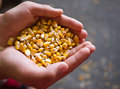 Corn in hands Stock Image