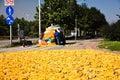 Corn harvest in China Stock Image
