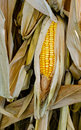 Corn in husk Royalty Free Stock Photos