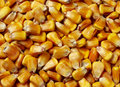 Corn kernals Royalty Free Stock Images