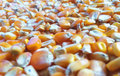 Corn kernels Royalty Free Stock Photo