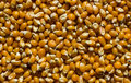 Corn kernels pile of raw uncooked used for popcorn Royalty Free Stock Photo