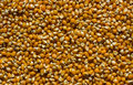 Corn kernels pile of raw uncooked used for popcorn Royalty Free Stock Photos