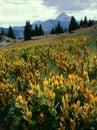 Corn lilies and Engineer Mountain in the Weminuche Wilderness, San Juan Range, Colorado Royalty Free Stock Photo