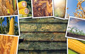 Corn maize in agriculture, photo collage Royalty Free Stock Photo