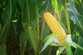 Corn Maize Ear on stalk in field Royalty Free Stock Photo