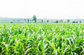 Corn maize field agriculture land in countryside Royalty Free Stock Images