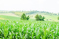 Corn maize field agriculture land in countryside Royalty Free Stock Photo
