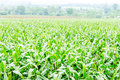 Corn maize field agriculture land in countryside Royalty Free Stock Photography