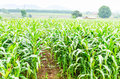 Corn maize field agriculture land in countryside Royalty Free Stock Photos