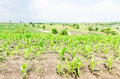 Corn maize field agriculture land in countryside Stock Images