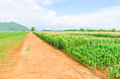 Corn maize field agriculture land in countryside Royalty Free Stock Image
