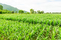 Corn maize field agriculture land in countryside Stock Photo