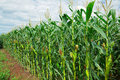 Corn maize field row of green growing in the during summer Stock Photo