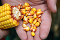 Corn - maize on the hand Royalty Free Stock Photo