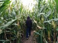 Child walking corn maze Royalty Free Stock Photo