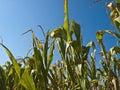 Corn Plant Royalty Free Stock Image