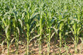 Corn plant. Royalty Free Stock Photo