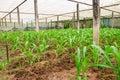 Corn plant in farm of thailand southeast asia Stock Photos