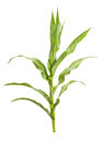 Corn plant Royalty Free Stock Photo