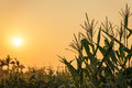 Corn plant and sunset on field Royalty Free Stock Photo
