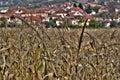 Corn plantation Royalty Free Stock Photo