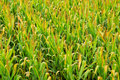 Corn plantation green field fresh and clean vibrant colors Stock Images