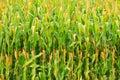 Corn plantation. Royalty Free Stock Photo
