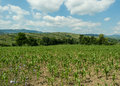 Corn plantation with hills and sky on background Royalty Free Stock Photo