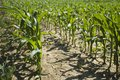 Corn plants standing in rows Royalty Free Stock Photo