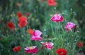 Corn poppies colorful are blooming in profusion Stock Image