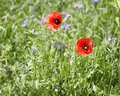 Corn poppies detail of a colorful flowering meadow with two in sunny ambiance Royalty Free Stock Photo