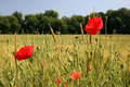 Corn poppies in front of a wheat field Stock Photos
