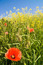 Corn poppy Royalty Free Stock Images