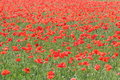 Corn-poppy field Stock Images