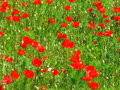 Corn poppy field detail Royalty Free Stock Photo
