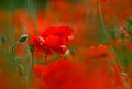 Corn Poppy Flowers Royalty Free Stock Photos