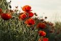 Red corn poppy (Papaver rhoeas) Royalty Free Stock Photo