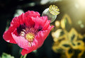 Corn poppy red flower in sun rays Royalty Free Stock Photo