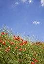 Corn poppy and the sky Royalty Free Stock Image