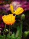 虞美人corn poppy weak also have spring beautiful flowers the beautiful legend Royalty Free Stock Image