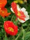 虞美人corn poppy weak also have spring beautiful flowers the beautiful legend Royalty Free Stock Photos