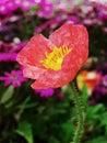 虞美人corn poppy weak also have spring beautiful flowers the beautiful legend Royalty Free Stock Photography