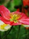 虞美人corn poppy weak also have spring beautiful flowers the beautiful legend Stock Images