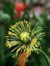 虞美人corn poppy weak also have spring beautiful flowers the beautiful legend Stock Photos