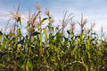 Corn production detail of a under a bright blue sky Royalty Free Stock Image