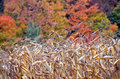 Corn ready for harvest against a mountain of fall tree colors Royalty Free Stock Photo